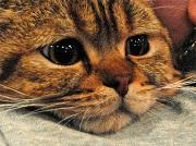 вич инфекция у кошек