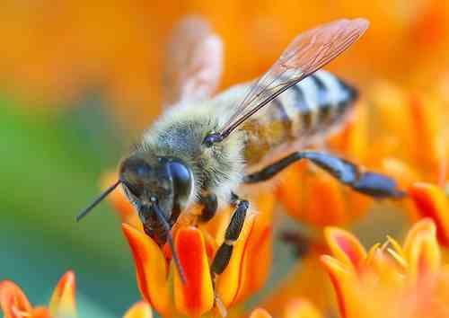 лечение аденомы простатита укусами пчел