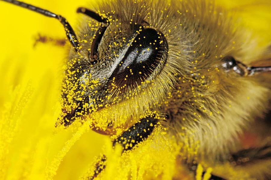 пыльца при простатите
